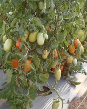 MoeysConsulitng_Agribusiness project_Tomato_Nigeria