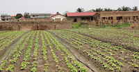 MoeysConsulting_Agribusiness project_Lettuce_Ghana